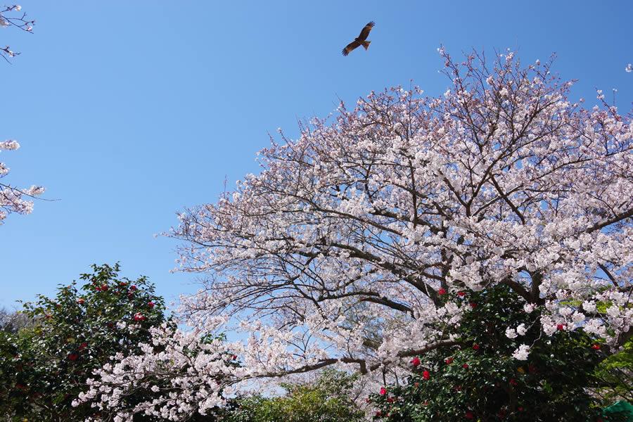 葛原岡神社の桜と椿?